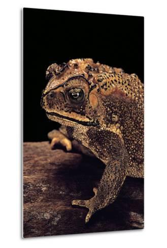 Duttaphrynus Melanostictus (Spectacled Toad)-Paul Starosta-Metal Print