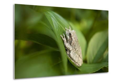 Cope's Gray Tree Frog Hiding in a Peony Bush Near Cross Lake, Minnesota-Joel Sartore-Metal Print