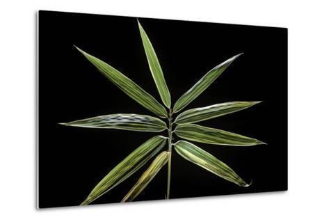Hibanobambusa Tranquillans 'Shiroshima' (Shiro-Shima-Iny?inyouchikuzoku, Bamboo) - Leaf-Paul Starosta-Metal Print