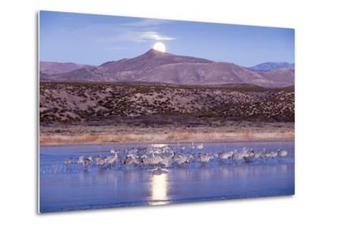 Sandhill Cranes and Full Moon, Bosque Del Apache, New Mexico-Paul Souders-Metal Print