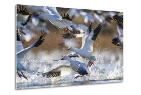 Snow Geese, Bosque Del Apache, New Mexico-Paul Souders-Metal Print