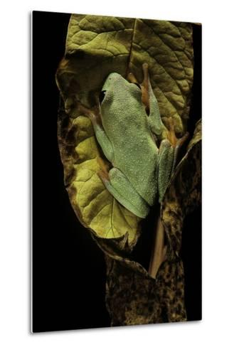 Agalychnis Moreletii (Black-Eyed Tree Frog)-Paul Starosta-Metal Print