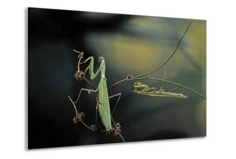 Mantis Religiosa (Praying Mantis) - Male with Female-Paul Starosta-Metal Print