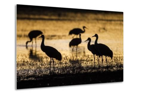 Sandhill Cranes, Bosque Del Apache, New Mexico-Paul Souders-Metal Print