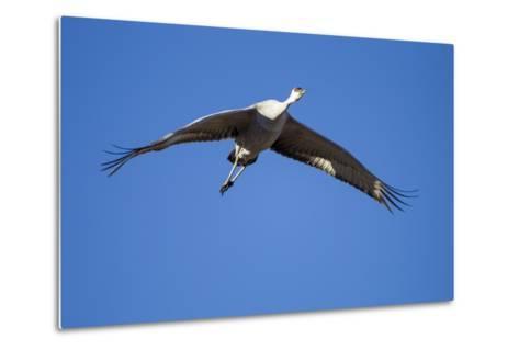Sandhill Cranes in Flight, Bosque Del Apache, New Mexico-Paul Souders-Metal Print