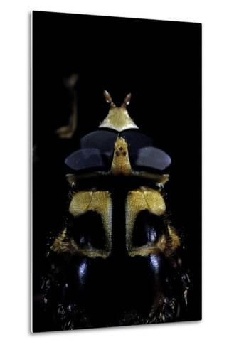 Milesia Crabroniformis (Hoverfly) - Portrait-Paul Starosta-Metal Print