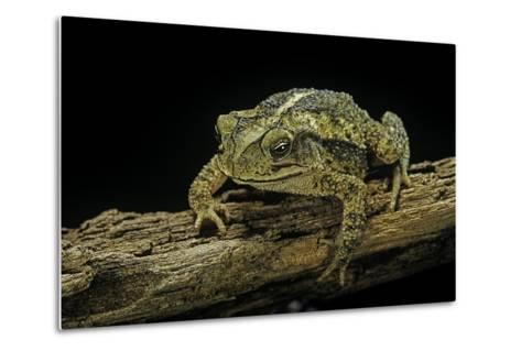 Incilius Valliceps (Gulf Coast Toad)-Paul Starosta-Metal Print