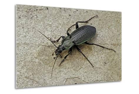 Carabus Morbillosus Cheminorum (Ground Beetle)-Paul Starosta-Metal Print