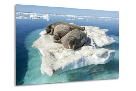 Walruses on Iceberg, Hudson Bay, Nunavut, Canada-Paul Souders-Metal Print
