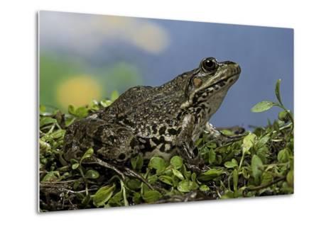 Edible Frog-Paul Starosta-Metal Print