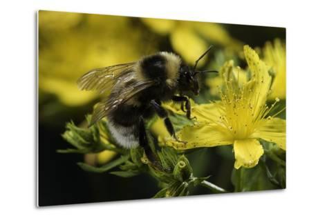Bombus Hortorum (Small Garden Bumblebee)-Paul Starosta-Metal Print