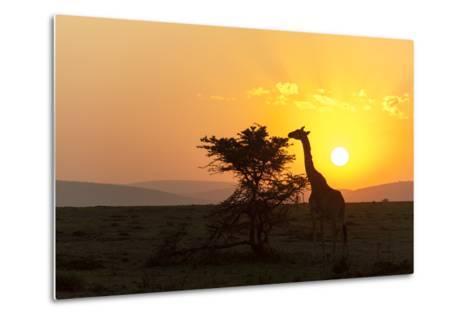 A Masai Giraffe, Giraffa Camelopardalis Tippelskirchi, Browsing at Sunset-Sergio Pitamitz-Metal Print