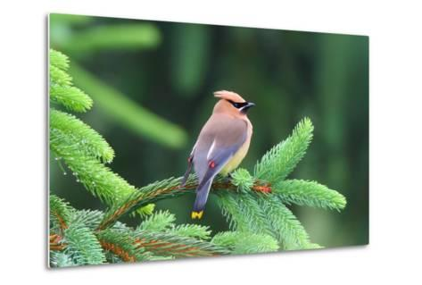 A Male Cedar Waxwing, Bombycilla Cedrorum, Perched on a Pine Tree Limb-George Grall-Metal Print