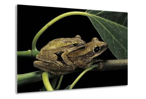 Polypedates Leucomystax (Common Tree Frog, Golden Gliding Frog) - Mating-Paul Starosta-Metal Print
