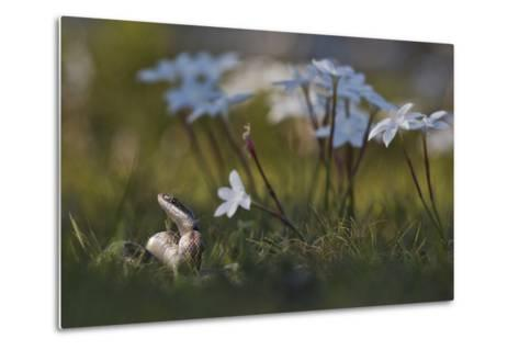 A Texas Rat Snake Raises its Head in the Grass Next to Some Evening Rain Lily Flowers-Karine Aigner-Metal Print