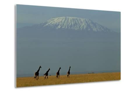 Four Masai Giraffes on a Grass Plain at the Base of Mount Kilimanjaro-Beverly Joubert-Metal Print