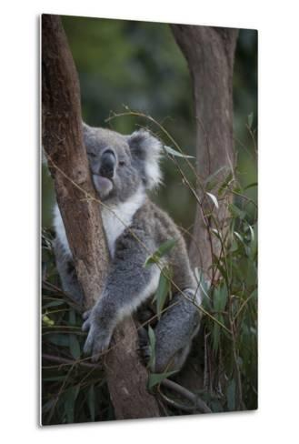 A Federally Threatened Koala at a Wildlife Sanctuary-Joel Sartore-Metal Print