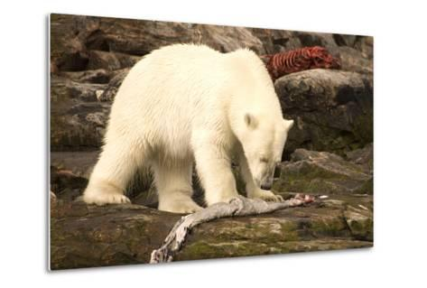 Polar Bear Feeding on a Seal Carcass, Button Islands, Labrador, Canada, North America-Gabrielle and Michel Therin-Weise-Metal Print