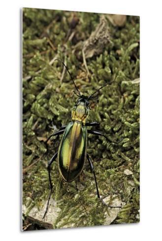Carabus Splendens Lapurdanus (Ground Beetle)-Paul Starosta-Metal Print