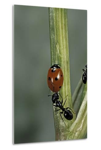 Coccinella Septempunctata (Sevenspotted Lady Beetle) - with Ant-Paul Starosta-Metal Print