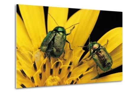 Cryptocephalus Hypochaeridis (Green Leaf Beetle)-Paul Starosta-Metal Print
