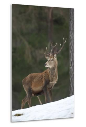 Red Deer (Cervus Elaphus) Stag in Pine Woodland in Winter, Cairngorms National Park, Scotland, UK-Mark Hamblin-Metal Print