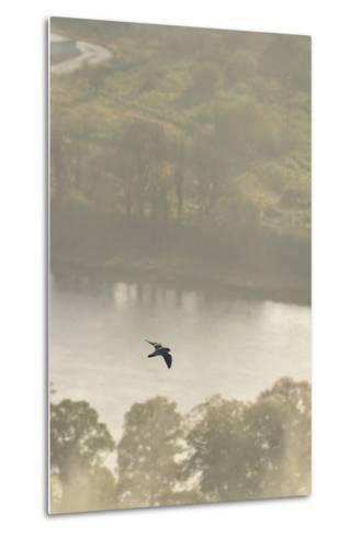 Peregrine Falcon (Falco Peregrinus) in Flight over the River Tay, Perthshire, Scotland, UK-Fergus Gill-Metal Print