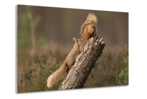 Red Squirrel (Sciurus Vulgaris) Approaching Another as it Eats a Nut, Cairngorms Np, Scotland-Peter Cairns-Metal Print