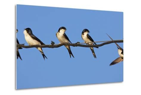 House Martins (Delichon Urbicum) Perched on Wire, with Another in Flight, Extremadura, Spain, April-Varesvuo-Metal Print