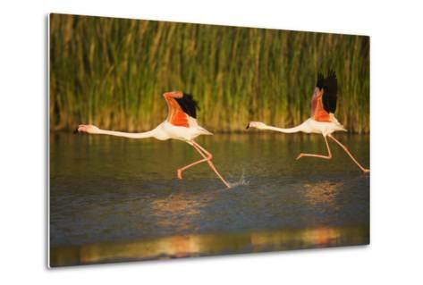 Two Greater Flamingos (Phoenicopterus Roseus) Taking Off from Lagoon, Camargue, France, May 2009-Allofs-Metal Print