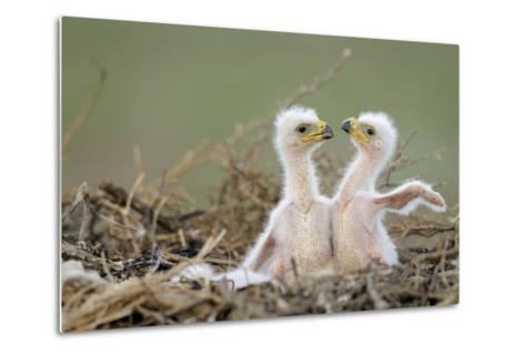 Two Steppe Eagle (Aquila Nipalensis) Chicks in their Nest. Cherniye Zemli Nr, Kalmykia, Russia- Shpilenok-Metal Print