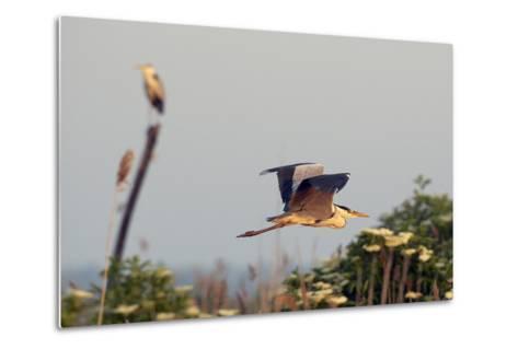 Grey Heron (Ardea Cinerea) Pusztaszer, Hungary, May 2008-Varesvuo-Metal Print