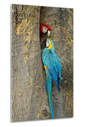 Blue and Gold Macaw with Scarlet Macaw, Costa Rica--Metal Print
