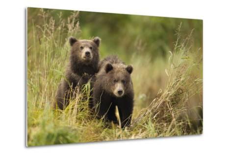 Brown Bear Cubs, Katmai National Park, Alaska--Metal Print