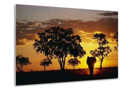 African Elephant Walking at Sunset--Metal Print