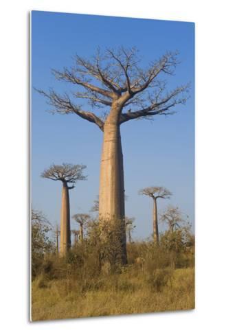 Baobabs (Adansonia Grandidieri), Morondava, Madagascar, Africa-Gabrielle and Michel Therin-Weise-Metal Print