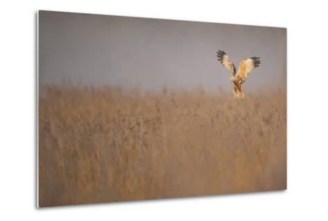 Marsh Harrier (Circus Aeruginosus) Adult Male in Flight Hunting over Reedbed at Dawn, Norfolk, UK-Andrew Parkinson-Metal Print