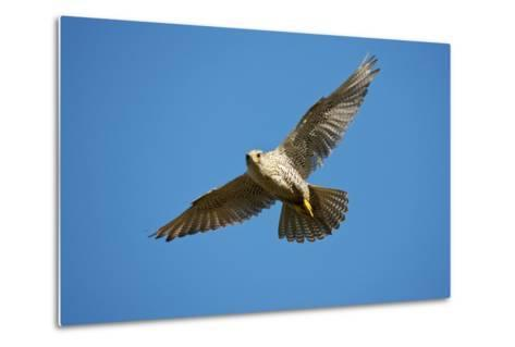Gyrfalcon (Falco Rusticolus) in Flight, Thingeyjarsyslur, Iceland, June 2009-Bergmann-Metal Print