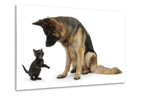 German Shepherd Dog Bitch, Coco, Looking Down on Black Kitten-Mark Taylor-Metal Print