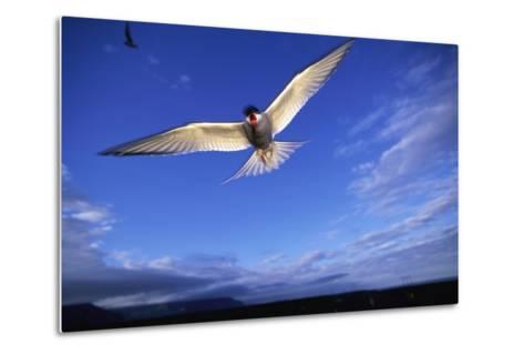Arctic Tern in Iceland--Metal Print