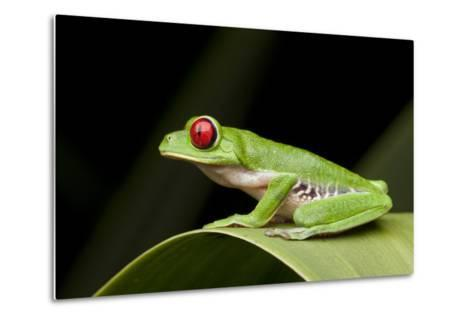 Red Eyed Tree Frog, Costa Rica-Paul Souders-Metal Print