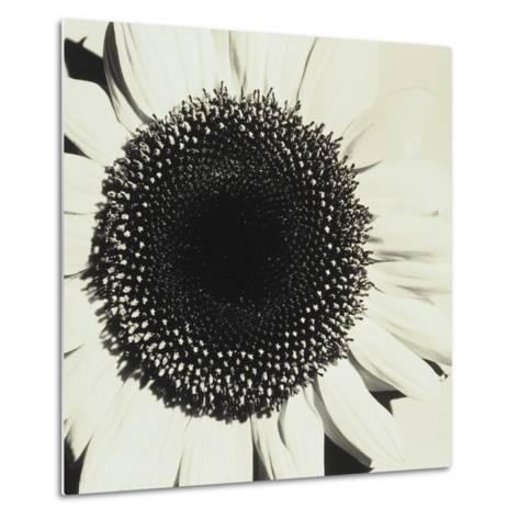 Sunflower-Graeme Harris-Metal Print