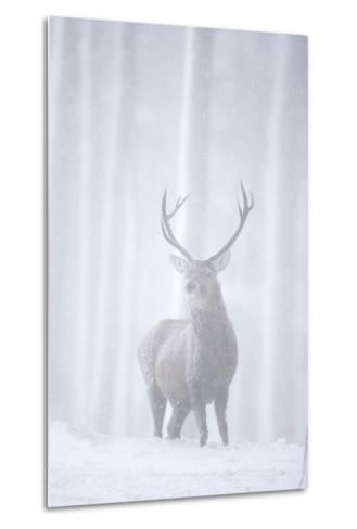Red Deer (Cervus Elaphus) Stag in Pine Forest in Snow Blizzard, Cairngorms Np, Scotland, UK-Peter Cairns-Metal Print