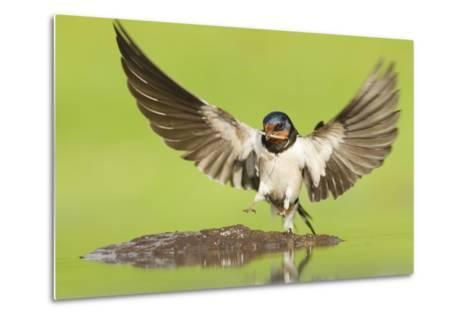 Barn Swallow (Hirundo Rustica) Collecting Mud for Nest Building. Inverness-Shire, Scotland, June-Mark Hamblin-Metal Print