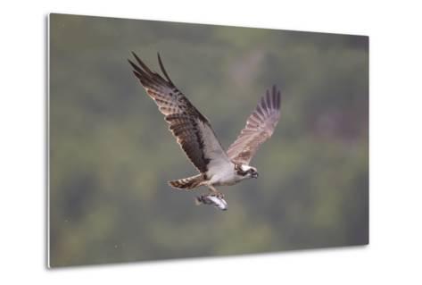 Osprey (Pandion Haliaeetus) in Flight, Fishing at Dawn, Rothiemurchus, Cairngorms Np, Scotland, UK-Peter Cairns-Metal Print