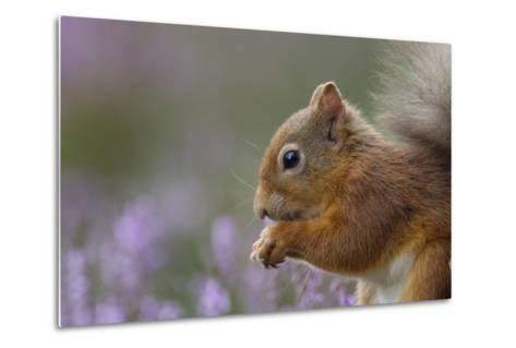 Red Squirrel (Sciurus Vulgaris) in Flowering Heather. Inshriach Forest, Scotland, September-Peter Cairns-Metal Print
