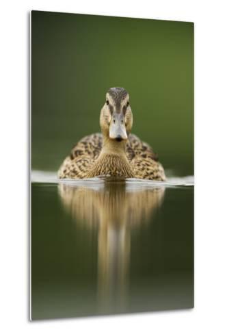 A Sub-Adult Female Mallard (Anas Platyrhynchos) Swimming on a Still Lake, Derbyshire, England-Andrew Parkinson-Metal Print