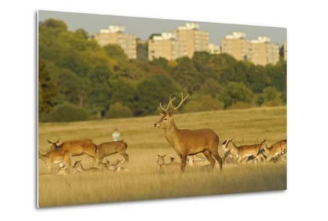 Red Deer (Cervus Elaphus) in Richmond Park with Roehampton Flats in Background, London, England, UK-Terry Whittaker-Metal Print