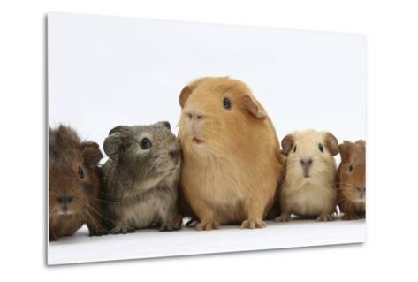 Mother Guinea Pig and Four Baby Guinea Pigs, Each a Different Colour-Mark Taylor-Metal Print