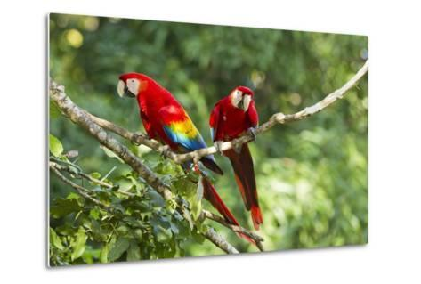 Scarlet Macaws, Costa Rica-Paul Souders-Metal Print
